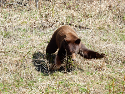 Cinnamon Colored Black Bear near Liard, British Columbia, Canada