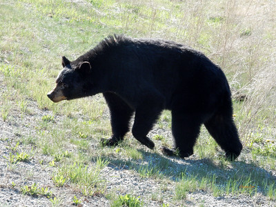 Spring Bear, near Fireside, British Columbia