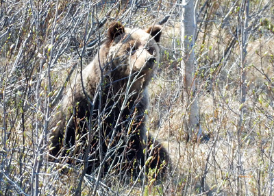 Young Grizzly Bear near Million Dollar Water Falls, Yukon, Canada