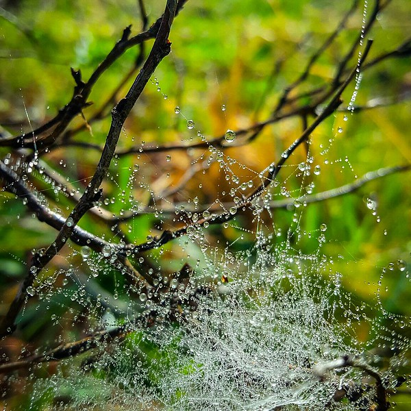 caught in the dew