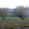 Pollarded Willows on the moor