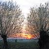 Sunset seen through pollarded willows