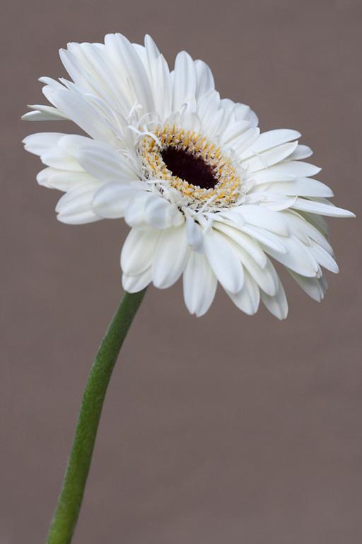 White Gerbera 1