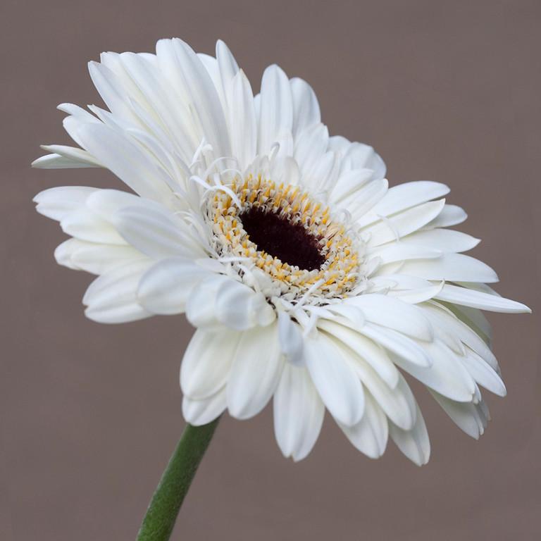 White Gerbera 2