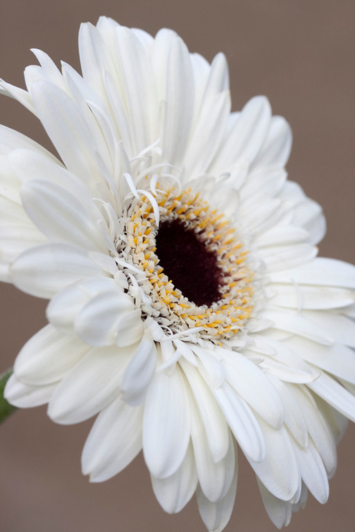 White Gerbera 3