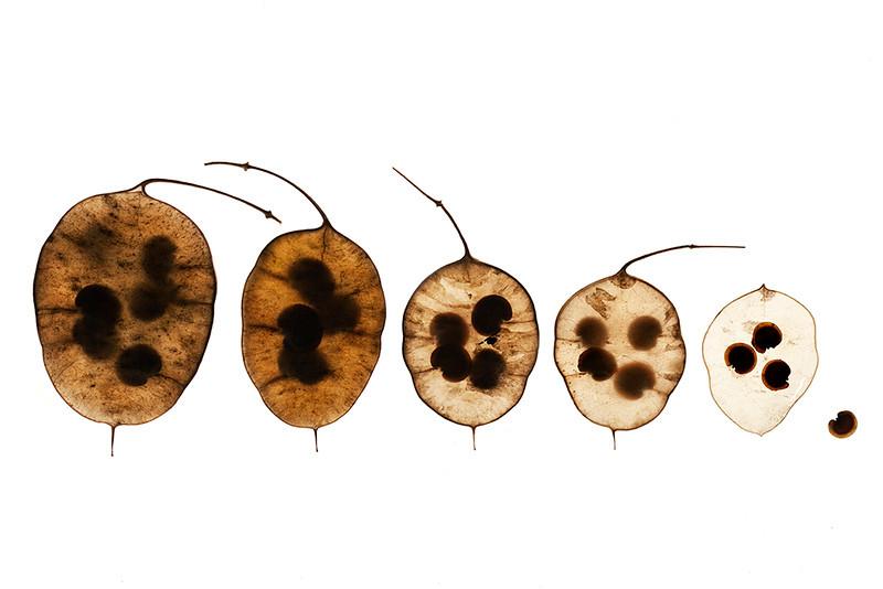 Lunaria Seedpods