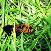 Black Scoliid Wasp