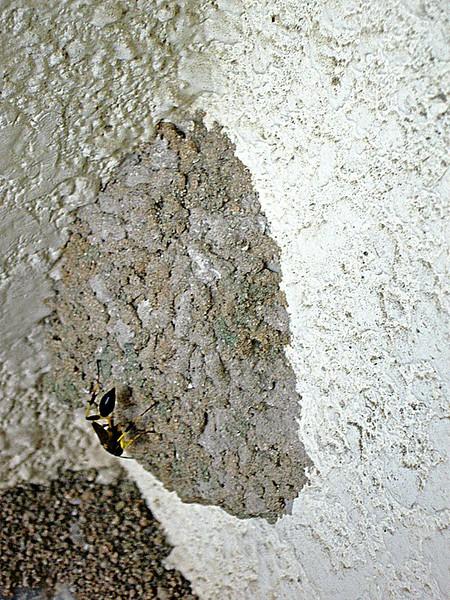 Black and Yellow Mud Dauber Wasp