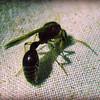 Black Sphecid Wasp