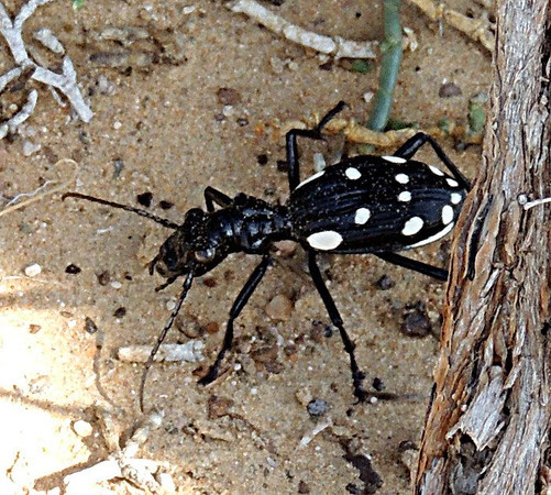 Domino Beetle