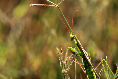 Green Mantis A