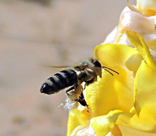 Common Honeybee