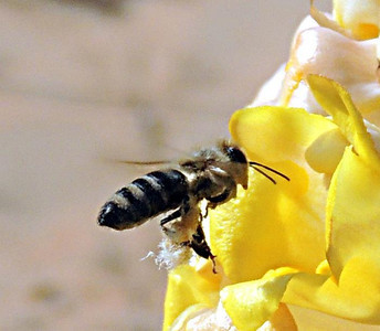 Common Honeybee