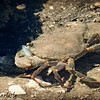 Mangrove Swimming Crab