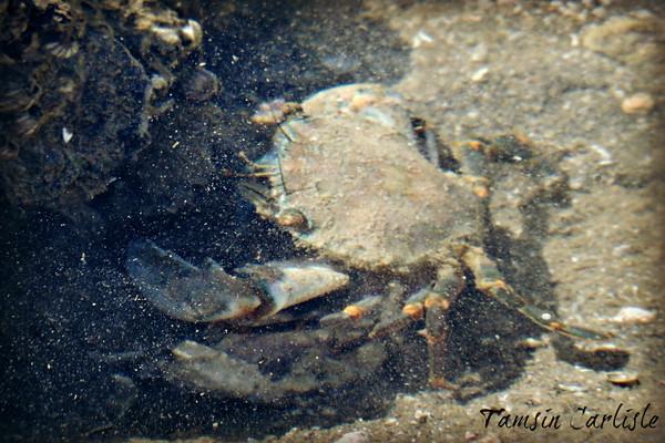 Mangrove Swimming Crab