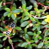 Asian Dwarf Honeybee