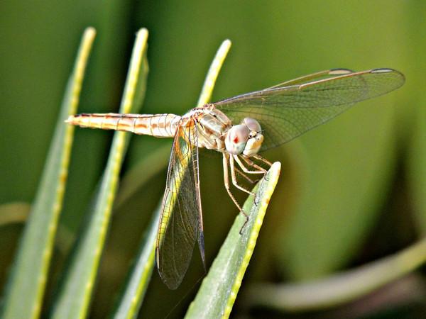 Carmine Darter Dragonfly (female)
