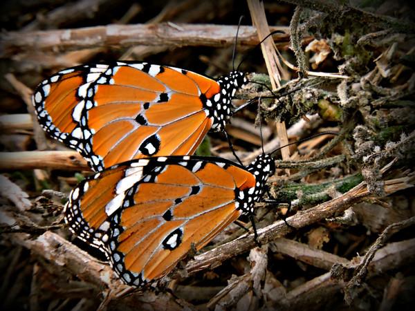 Plain Tigers/African Monarchs
