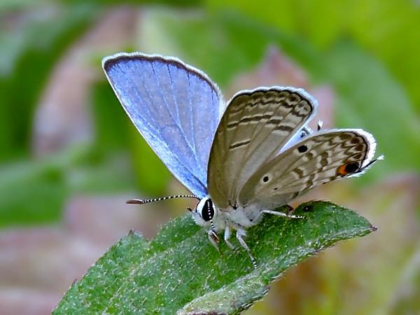 Cycad Blue/Plains Cupid