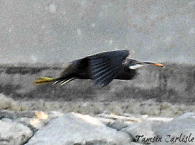 Western  Reef Heron in flight