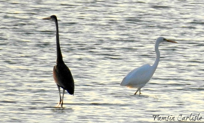 Western Reef Herons - dark and white morphs
