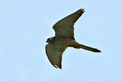 Possible Amur Falcon