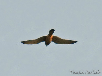 Most likely a Common Kestrel