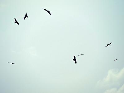 Black Kites circling