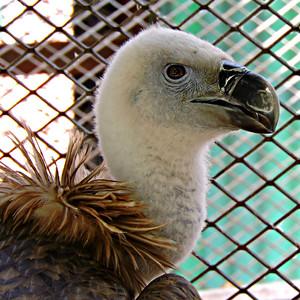 Griffon/Eurasian Vulture