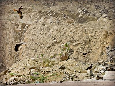 Black Kites scavenging