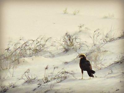 Western Marsh Harrier - female