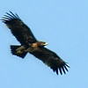 Greater Spotted Eagle - immature