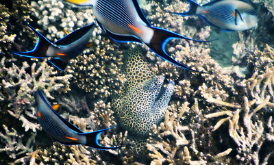 Honeycomb Moray and Arabian Tang