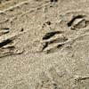Sand Gazelle Tracks