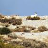 Sand/Rhim Gazelle