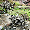 Arabian Leopard Pair
