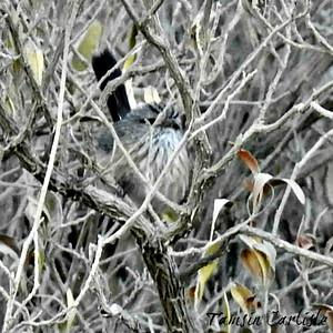 Streaked Scrub Warbler
