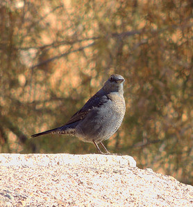 Blue rock thrush (Monticola solitarius) — at Green Mubazzarah, 22/02/2013, 8:30 a.m.