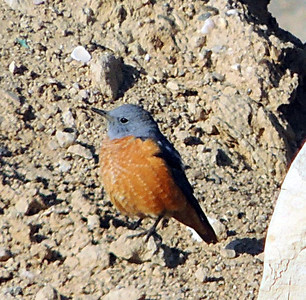 Rufous-tailed Rock Thrush - male