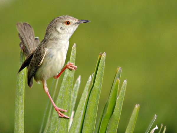 Graceful Prinia/Streaked Wren Warbler