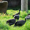 Helmeted Guinea Fowl and Glossy Ibis