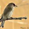 Eastern/Grey-headed Goldfinch