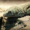 Jayakar's Lizard