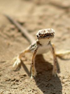 Arabian Toad-headed Agama