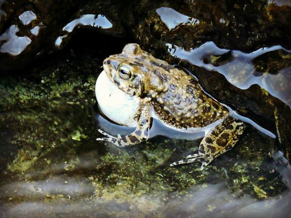Arabian Toad Calling