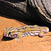 Arabian Wonder Gecko