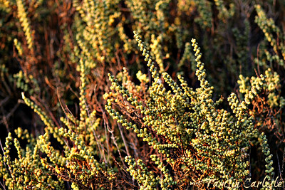Jointed Glasswort