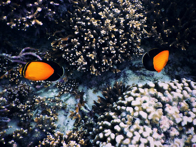 Black-finned Butterfly Fish