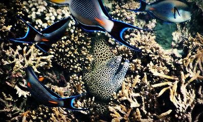 Sohal Surgeon Fish and Laced Moray