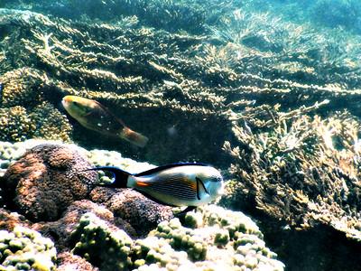 Arabian Tang and Parrot Fish